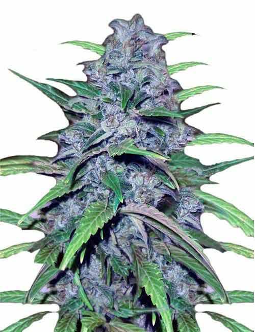 Dutch-Treat-Marijuana-Seeds