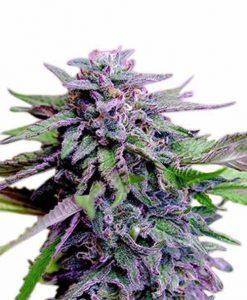 Northern Lights Seeds | We Love Marijuana | The Seed Pharm
