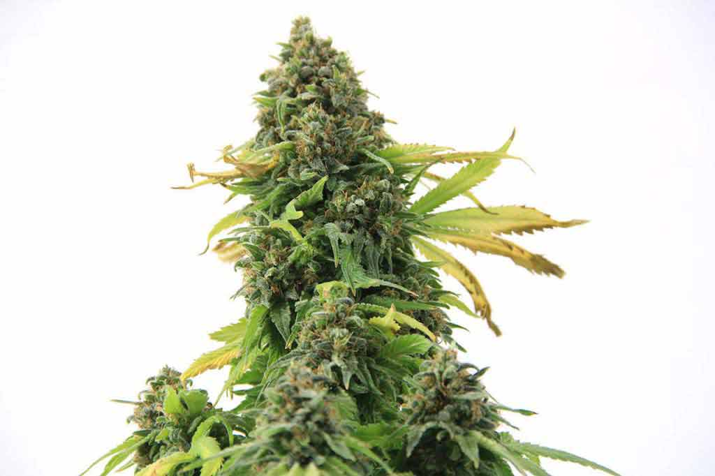 Ice Wreck Marijuana Seeds The Seed Pharm